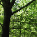 Small photo of American Beech Tree