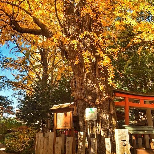 杭全(くまた)神社にある銀杏の巨木。