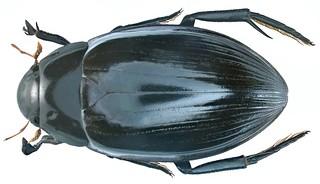 Hydrophilus pistaceus Laporte de Castelnau, 1840 male