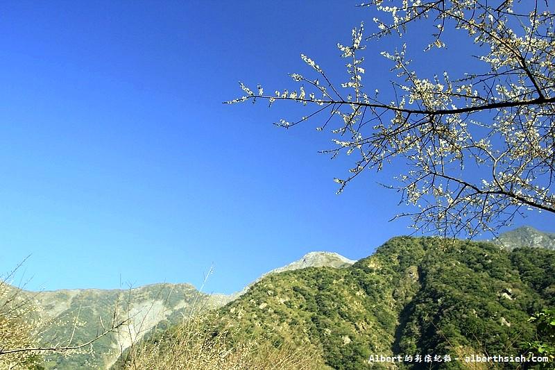 【梅花】花蓮秀林.立德布洛灣山月村