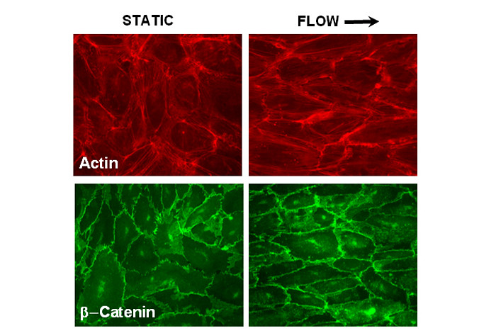 What the scientists can see when vascular cells are static and under stress