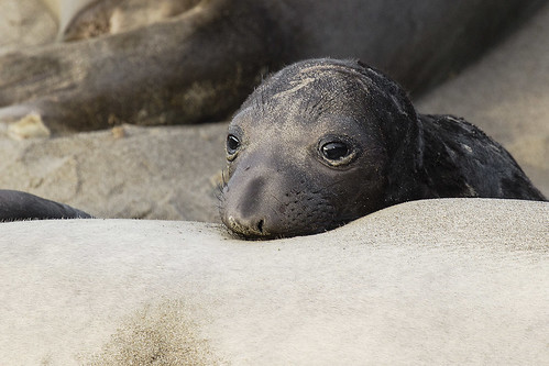 Northern Elephant Seal Pup Resting on Mother