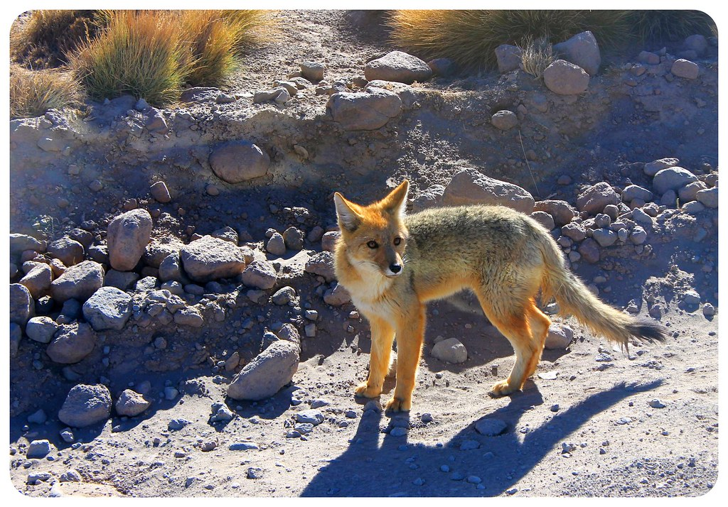 atacama desert fox chile