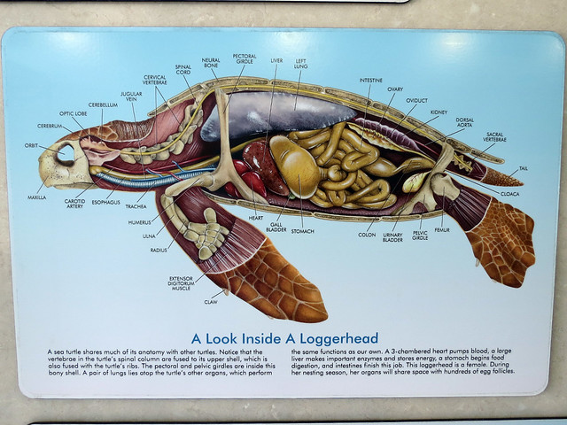 turtle anatomy