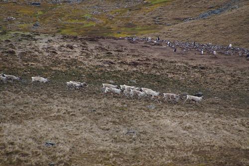 145 Rendieren en ezelspinguins