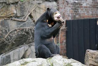 Malaienbärin Maika im Zoo Berlin