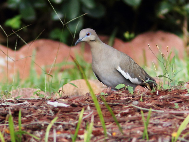 White-winged Dove gathering twigs 2-20140320