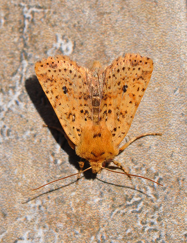 2260 Dotted Chestnut Conistra rubiginea Pegwell by Kinzler Pegwell