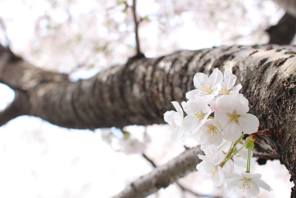 sakura2014(桜)3