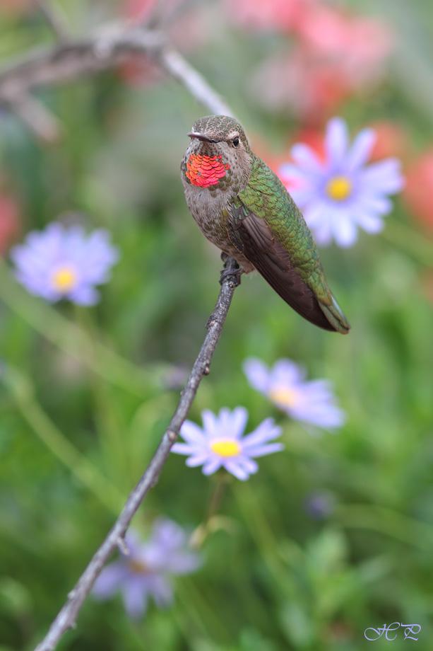 Anna's-Hummingbird-040314