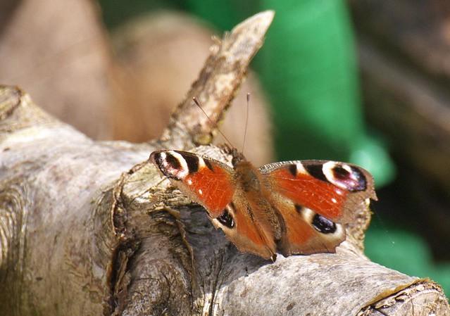 DSC_8229 Peacock butterfly