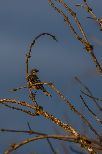 Audubon's Warbler - ♂
