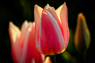 Sundown Backlight Tulip