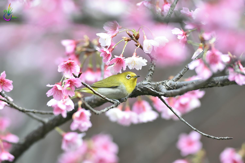 Sakura_White-eye_5052