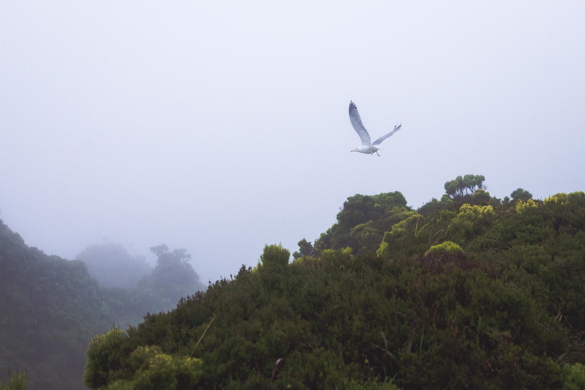 Sirály Lago de Fogo felett az Azori-szigeteken.