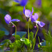 Violets washed by sun by mvukovic56