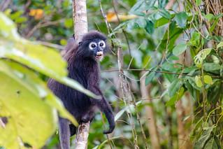 Südlicher Brillenlangur-Malaysia-Specter Lemur