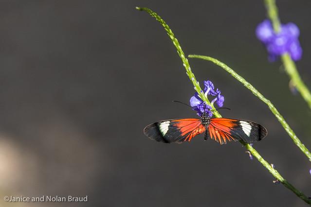 Doris Longwing Butterfly JN104528