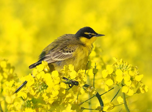 Yellow wagtail in a rapeseed field | by Fraton