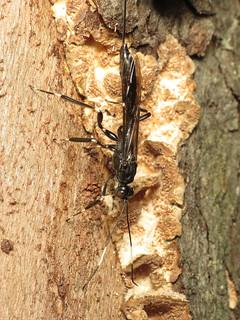 Parasitic Wasp