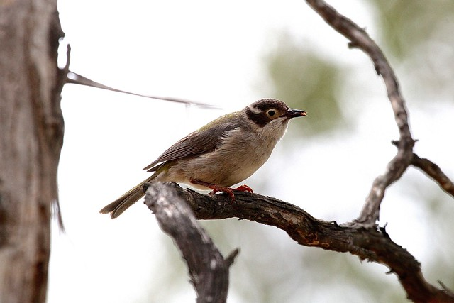 Brownheaded Honeyeater Campbell Park, Canon EOS 7D, Canon EF 100-400mm f/4.5-5.6L IS USM