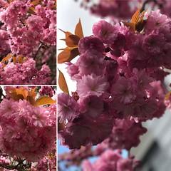 I love ❤️ cherry 🍒 blossoms #theyalwaysremindmeofyou #mymom❤️