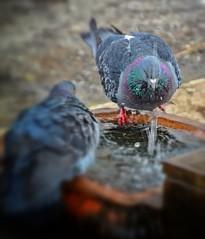bathing pidgeons