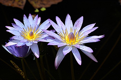 Purple waterlilies blaze from golden centers