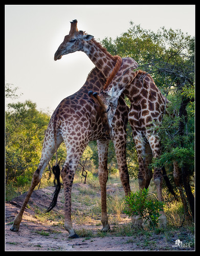 Giraffes Necking, South Africa.