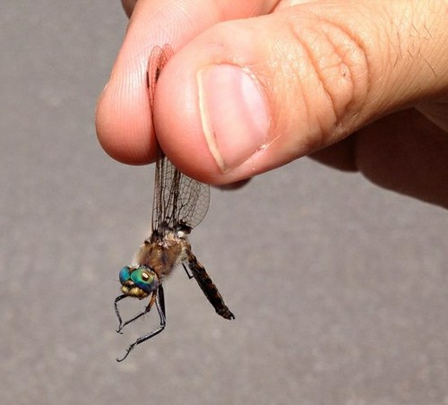 Emerald dragonfly (Corduliidae), collected from a small pond at Sinnemahoning State Park