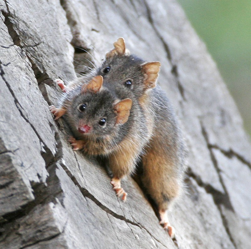 Yellow-footed Antechinus mating