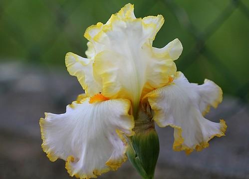 Iris - floraisons 2011 - Page 2 8986041662_857857c701