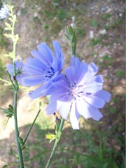 flower, plant, herb, wildflower, flora, meadow, herbaceous plant, chicory,