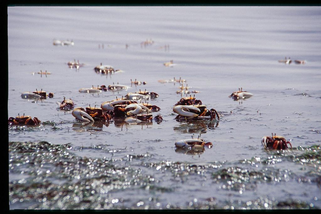 Mauritanie - Banc d'Arguin - Légions de crabes