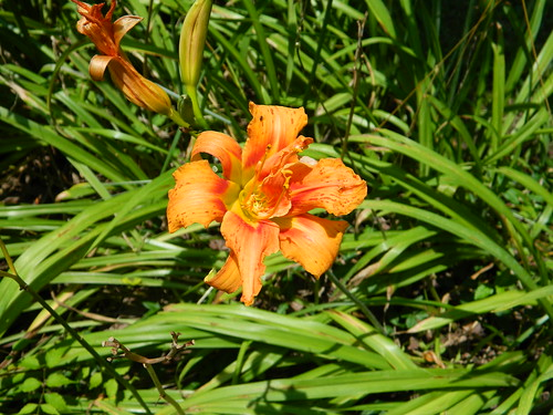 Not My Tiger Lily