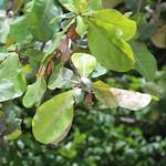 Terminalia catappa leaves and fruit