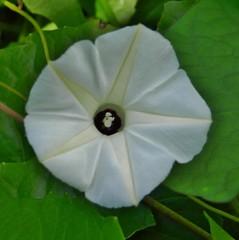 wheel(0.0), ipomoea violacea(1.0), flower(1.0), datura inoxia(1.0), leaf(1.0), ipomoea alba(1.0), plant(1.0), macro photography(1.0), flora(1.0), green(1.0), petal(1.0),