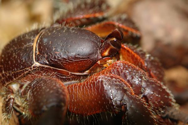 i-coenobita-voir-spinosus-caledonie-hienghene-barrault-9