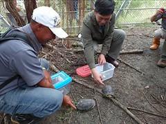 社頂部落發展文化促進會參與保育類動物食蛇龜收容、野放工作(社頂部落發展文化促進會 提供)