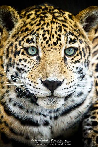 Jaguar Cub: Interest