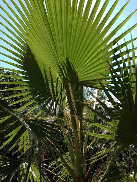 washingtonia palm flickr photo sharing. Black Bedroom Furniture Sets. Home Design Ideas