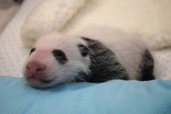Giant Panda Cub's First Full Veterinary Exam