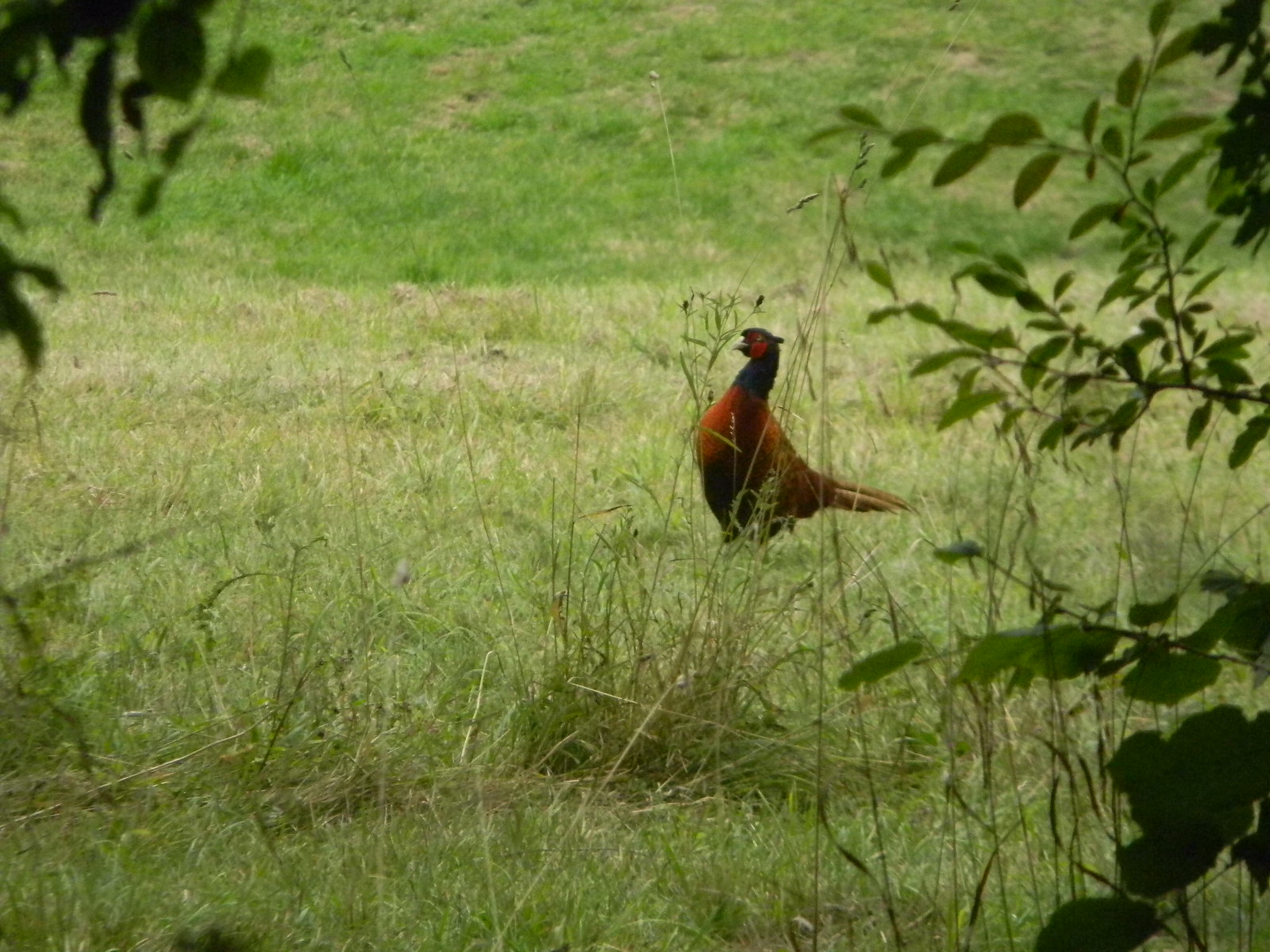 Pheasant Saunderton via Wheelers End