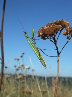 Praying Mantis (Mantis religiosa)