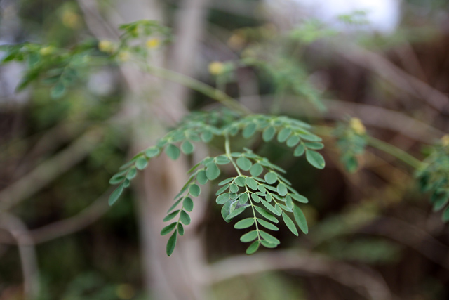 10081971094 22396193be o Moringa, have you eaten this miracle tree?