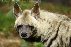 saarloos wolfdog(0.0), kit fox(0.0), animal(1.0), mammal(1.0), hyena(1.0), fauna(1.0), wildlife(1.0),