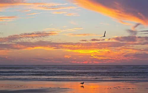 ocean sunset bird beach nature washington wildlife gulls longbeach breakers