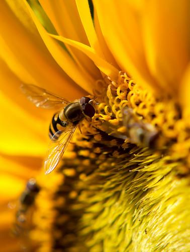 flower macro colors yellow closeup turku sunflower hoverfly pvanhala