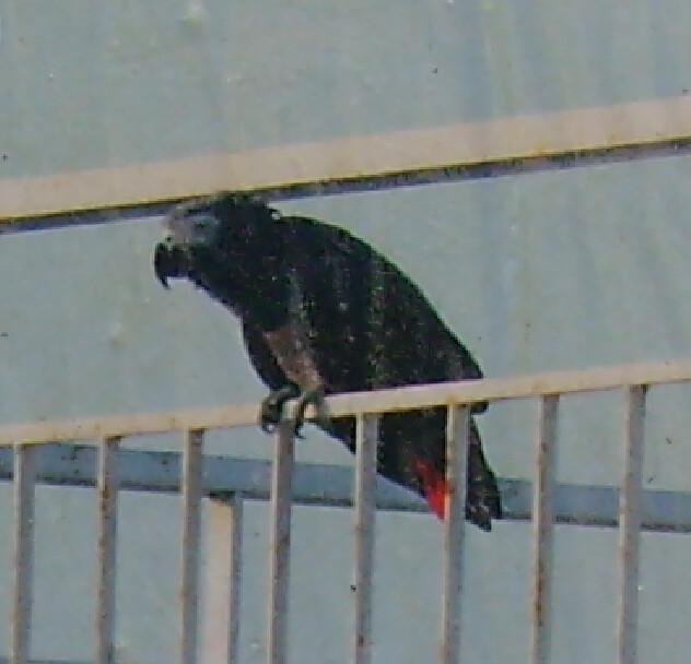 Μακρύ πουλί στο μαύρο μουνί