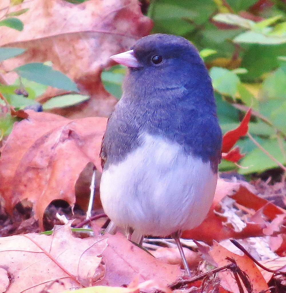 Sparkle-eyed Junco